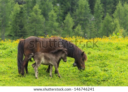 Horses on alpine pasture
