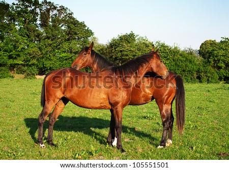horses on the beautifull green field - stock photo