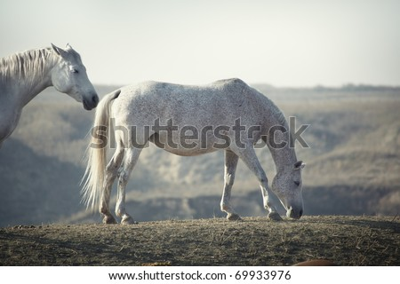 Horses pasturing in the steppe. Natural light and colors. Shallow depth of field for natural view - stock photo