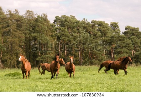 Horses run across the meadow. Hanoverian  breed.