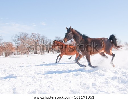 Horses running down hill in a snowy pasture in bright sunshine - stock photo