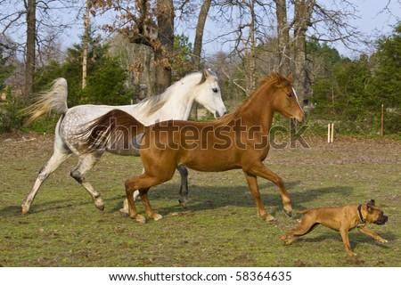 Horses running with dog - stock photo