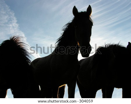 Horses silhouetted one stands out - stock photo