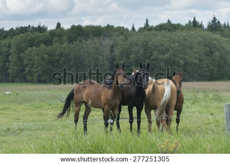 Horses standing in a field, Riding Mountain National Park, Manitoba, Canada