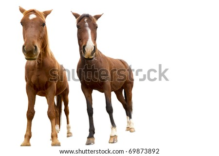 horses staring at you isolated on white