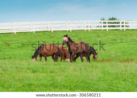 Horses wearing fly masks in summer at horse farm. Country landscape. - stock photo