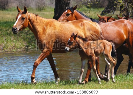 Horses with a young foal walking in a meadow along the river - stock photo