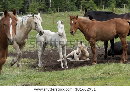 Horses with foals in a ranch, Northern Alberta, Alberta, Canada - stock photo