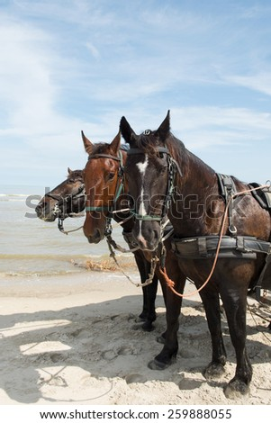 Horses with tilt car at the Beach from Dutch wadden island Terschelling - stock photo