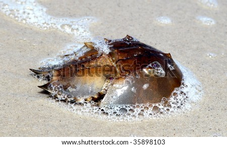 Horseshoe crab found on beach along Delaware Bay, New Jersey