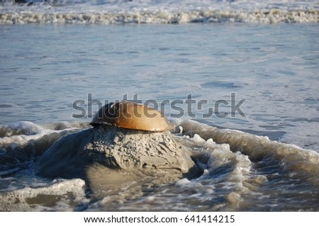 Horseshoe crab shell resting on rock over waves