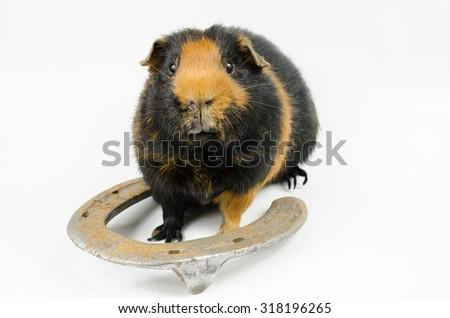 horseshoe pig - stock photo