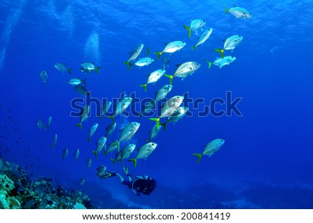 Horseyed Jacks in the Blue, Grand Cayman - stock photo