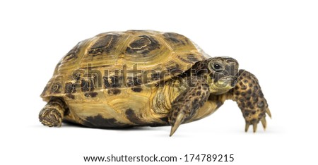 Horsfield's tortoise, Testudo horsfieldii, isolated on white