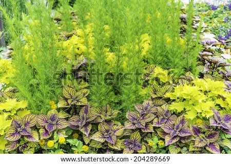 Horticultural artistry of synthesis: Garden bed of coleus cultivars and other plants with colors that complement one another early in summer, northern Illinois, USA - stock photo
