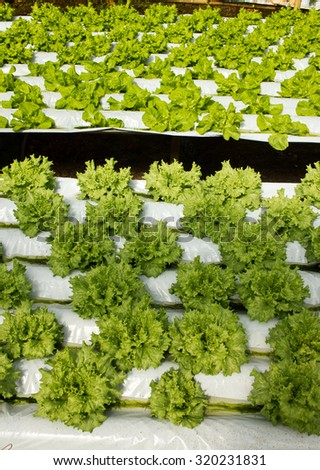 Horticulture Garden growing Lettuce Plants in different sizes inside Greenhouse with Aquaponic (Hydroponic) System - stock photo