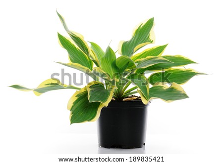 hosta - stock photo