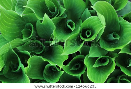Hosta leaves at spring. Outdoors, closeup - stock photo