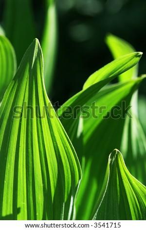Hosta Leaves create interesting patterns - stock photo