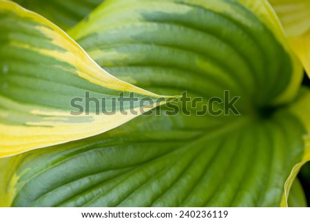 Hosta leaves in close-up
