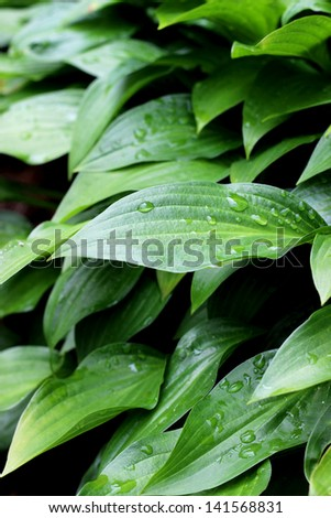 Hosta leaves with water droplets
