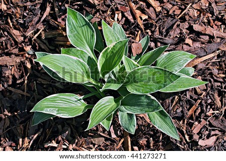 Hosta 'Lemon Frost' in the garden, young plant - stock photo