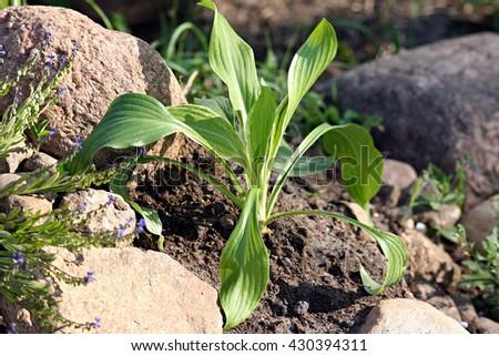 Hosta undulata var. albomarginata White Feather young plant in the rock garden - stock photo