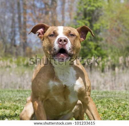 Hostile, aggrressive muscular brown and white dog growling - stock photo