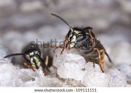 Hostile Common wasps, Vespula vulgaris on wasp's nest, photographed with high magnification - stock photo