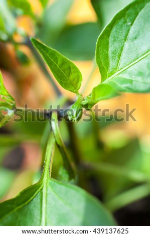 Hot pepper Jalapeno potted plant.