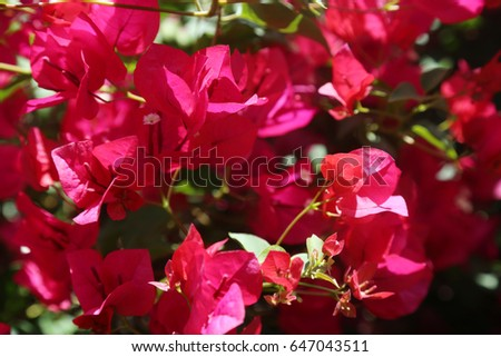 Hot pink bougainvillea flowers background image stock photo 100 hot pink bougainvillea flowers background image of hot pink bougainvillea flowers for backgrounds and textures mightylinksfo