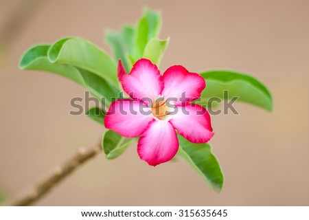 Hot pink Desert Rose flower, similar to frangipani, standing out against green leaves and a soft blurred tan background - stock photo