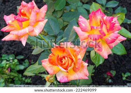 Hot pink flower tea-hybrid rose , blooming in the garden . Photographed close-up on the background of green leaves.  - stock photo