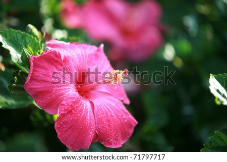 Hot Pink Hibiscus Flower on Maui Hawaii - stock photo