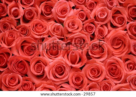 hot red roses packed side by side - stock photo