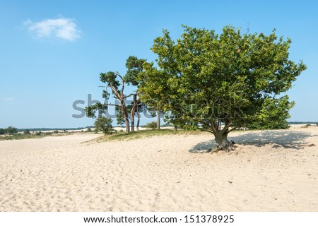 Hot sandy plain in the summer season with an old oak and scots pine against a blue sky. - stock photo