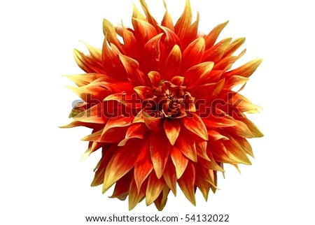 Hot Tamale Dahlia Flower Isolated on White - stock photo