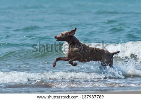 Hound dog runs happily on the seashore waves - stock photo