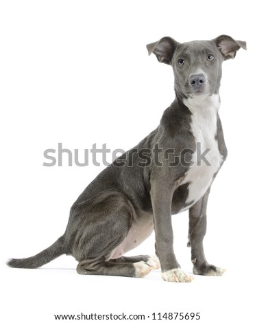 Hound/pitbull/weimaraner mix (canis lupus familiaris) puppy isolated on white background - stock photo
