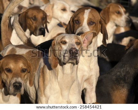 Hounds ready for a traditional English fox hunting meeting in Derbyshire, UK