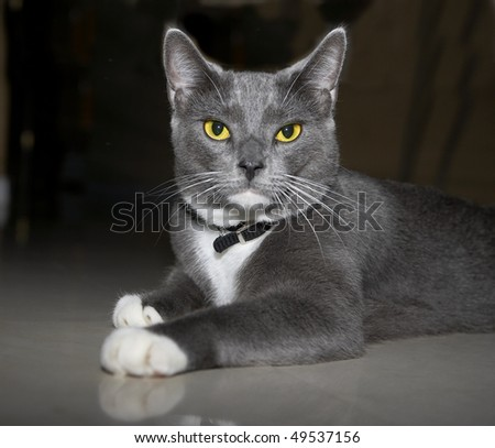 House cat, grey with yellow eyes