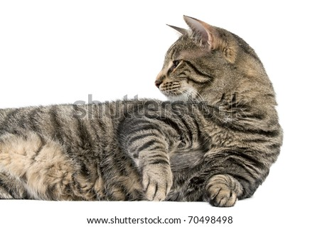 House Cat Laying Down but Alert with White Background