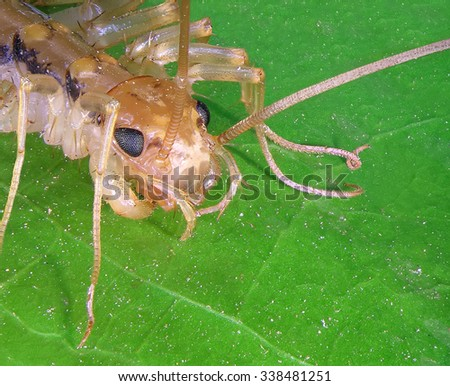 House centipede or yellowish-grey centipede (Scutigera coleoptrata) - It is an insectivore; it kills and eats other arthropods, such as insects and spiders - stock photo
