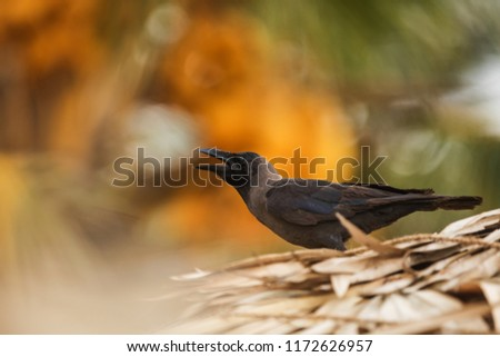 house crow (Corvus splendens), also known as the Indian, greynecked, Ceylon or Colombo crow
