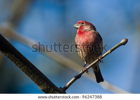 House Finch (Carpodacus mexicanus). House Finch is a bird in the finch family Fringillidae. - stock photo
