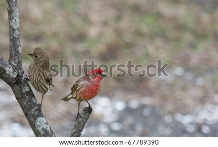 House Finch (male and female) on a branch on a Winter Day