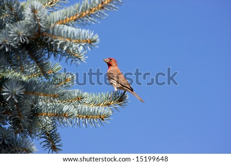 House Finch on Blue Spruce - stock photo
