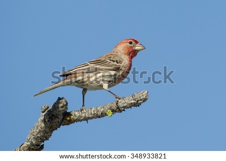 House Finch on branch