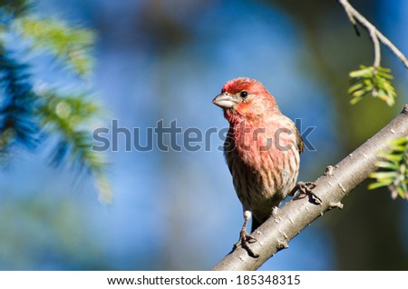 House Finch Perched in a Tree