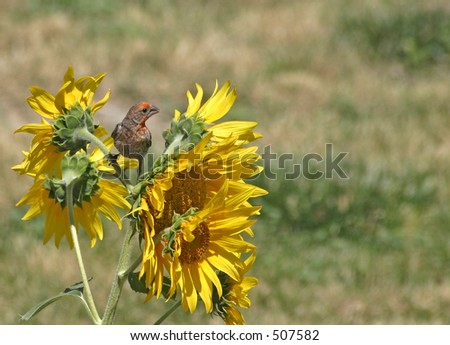 House Finch perched on Sunflower Plant - stock photo